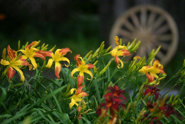 WoodcrestDaylilies2016_279