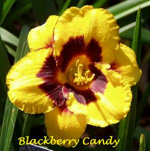 Blackberry Candy