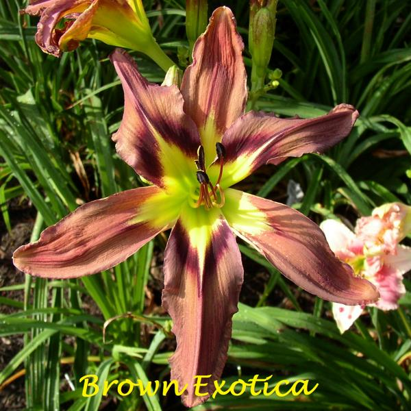 Brown Exotica 1