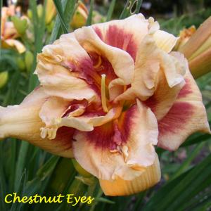 Chestnut Eyes