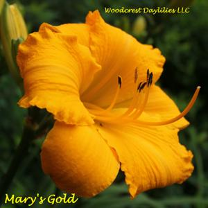 Mary's Gold