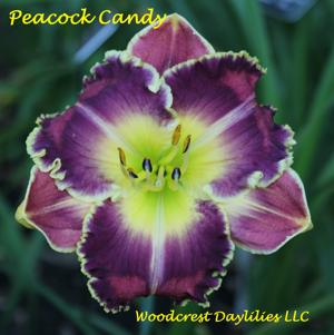 Peacock Candy