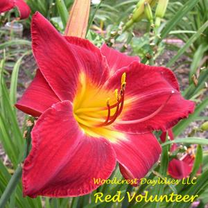 Red Volunteer