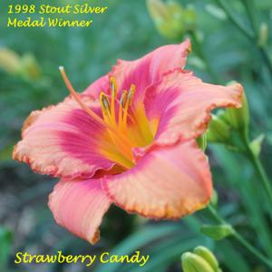 Strawberry Candy - 1998 Stout Silver Medal Winner