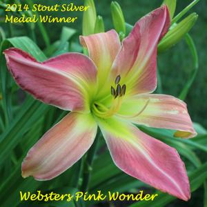 Webster's Pink Wonder - 2014 Stout Silver Medal Winner