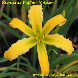 Banana Pepper Spider