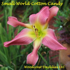Small World Cotton Candy